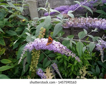 A side facing red admiral butterfly on buddleia flower