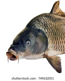 side head fish big carp isolated on white background