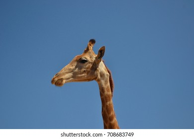 Side head shot of a giraffe on a clear sunny day, with no clouds in sight.