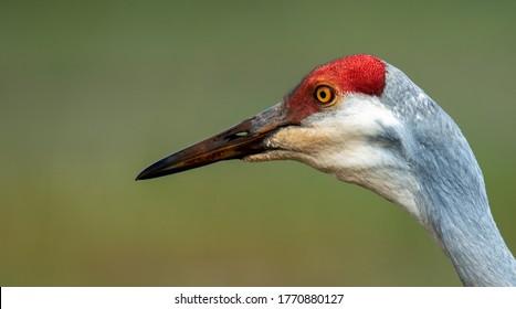 Side head shot of sandhill crane