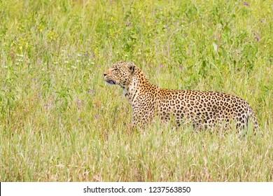 Side of Leopard walking in green meadow