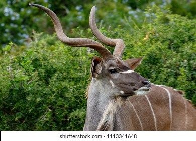 A side look from a Kudu standing in the field