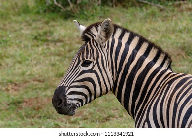 A side look from a Zebra standing in the field