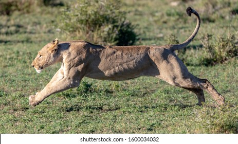 Side on view of a Lioness in full stride