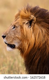 Side portrait of a beautiful lion in Masai Mara, Kenya