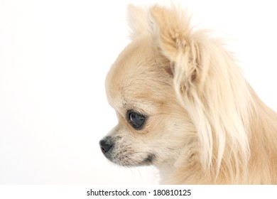Side portrait of a beautiful purebred long hair chihuahua, showing apple shaped head