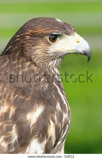 Side portrait of bird of prey