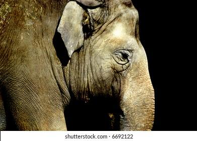 side portrait of an elephant