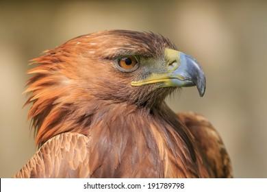 side portrait golden eagle