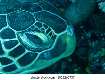 Side portrait of a green sea turtle ( Chelonia mydas ) resting on coral reef of   Bali, Indonesia