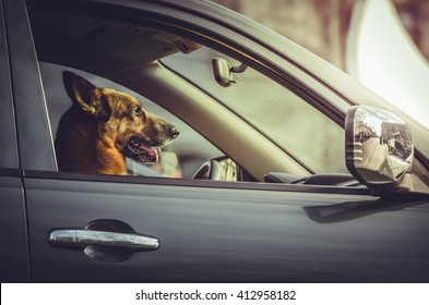 Side portrait of a happy German shepherd dog sitting in the driver seat. Trained dog driving, steering a car. Attentive German shepherd at car steering wheel. Safe driving. Car security, guard.
