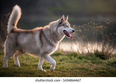 Side portrait of a magnificent husky. The husky has a brownish gray-white coat, bright blue eyes and raises his tail. The tongue hangs from his mouth and he looks very satisfied