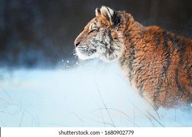 Side portrait of young Siberian tiger, Panthera tigris altaica, male with snow in fur, walking in deep snow against snowstorm. Taiga environment. Animals in freezing cold winter.