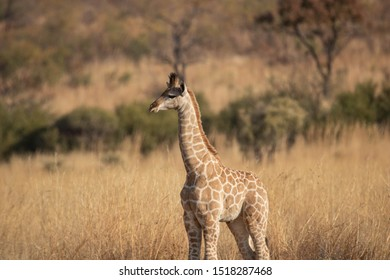 Side profile of an alert and curious South African Giraffe foal standing attentively in an open grassland against a blurred South African bushveld background.
