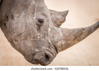 Side profile of a Black rhino in the Kruger National Park, South Africa.