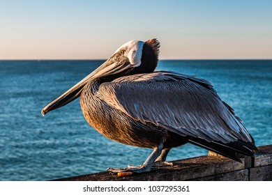 Side profile of a California brown pelican (Pelecanus occidentalis californicus) on the Oceanside pier at dawn in San Diego, California.