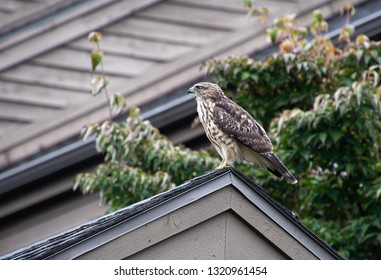 side profile of Cooper hawk perched on roof peak