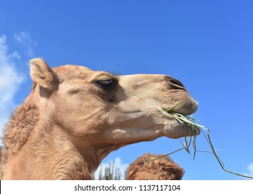 Side profile of a dromedary camel eating hay.