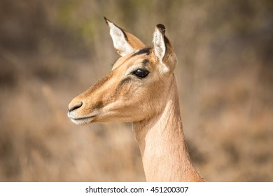 Side profile of a female Impala in the Kruger National Park, South Africa.