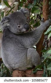 Side profile full body shot of an Australian Koala