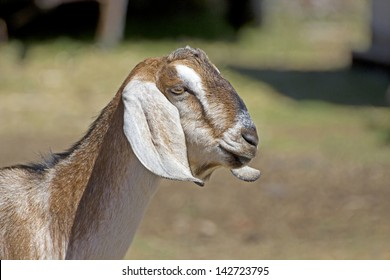 Side profile of the head of a nubian goat facing right with copy space