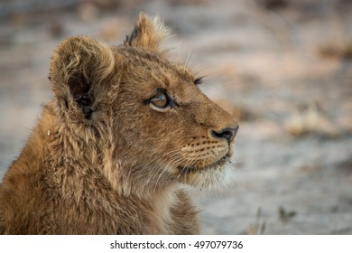 Side profile of a Lion cub looking up in the Kruger National Park, South Africa.