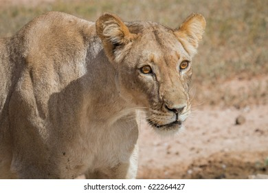 Side profile of a Lioness in the Kgalagadi Transfrontier Park, South Africa.