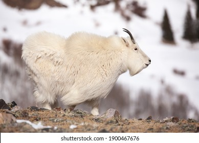 Side profile of a male Mountain Goat