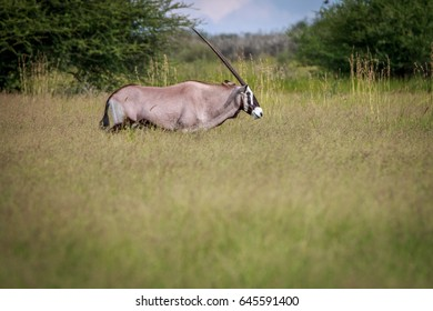 Side profile of an Oryx in the high grass in the Central Kalahari, Botswana..