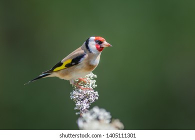 A side profile portrait of a goldfinch perched on a branch and looking to the right