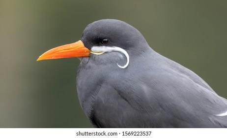 Side Profile Portrait of a Inca Tern