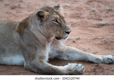 A side profile shot of a lion resting.
