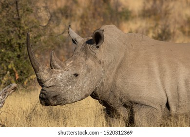 Side profile of a solitary white rhino bull, showing off his distinctive two  horns, the hump on the back of his neck and his distinctive broad, straight mouth, in the South African bushveld.