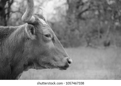 Side profile of Texas lonhorn heifer in black and white on cattle farm.