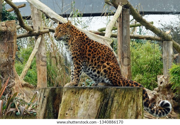 Side Profile view of a North Chinese Leopard sitting on a large round tree stump in captivity