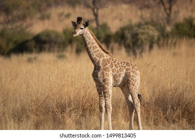 A side profile of a young South African Giraffe calf, standing in an open grassland, staring curiously at its surroundings, in the bushveld, South Africa.