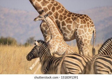 A side profile of a young South African Giraffe calf, jumping by its mother's side in an open grassland, accompanied by zebras, against a blurred South African bushveld background.