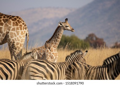 A side profile of a young South African Giraffe calf, standing behind its mother in an open grassland, accompanied by zebras, against a blurred South African bushveld background.