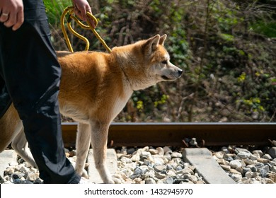 A side shot of a cropped man walking an orange akita dog on the yellow leash on the railroad. The akita dog is looking straight ahead the road and the background is blurred.