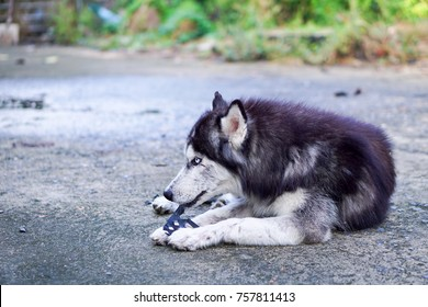 Side Shot of Siberian Husky Lay Down on The Ground with Plastic Toy in His Mouth