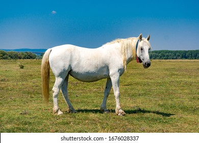 Side shot of a white horse on a meadow