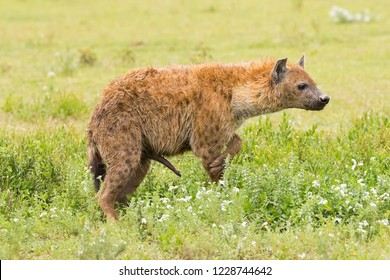 Side of Spotted hyena, Laughing hyena standing on grass at Serengeti National Park in Tanzania, East Africa (Crocuta crocuta)