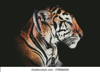 Side Tiger photo.Abstract Side face portrait tiger isolated on black background  fade filter.