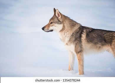 Side veiw at grey wolf - Canis lupus standing in a meadow on snow