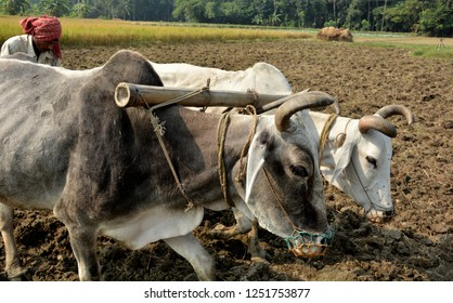 Side very close up view of an Indian farmer plowing, ploughing, his field, land using two bullocks or oxen as traditionally