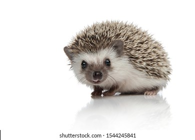 side view of adorable african hedgehog searching and walking isolated on white background, full body