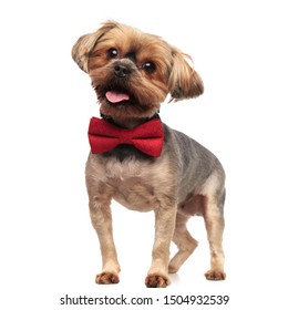 side view of adorable yorkshire terrier looking to side, wearing red bowtie, panting, sticking out tongue, standing isolated on white background in studio, full body