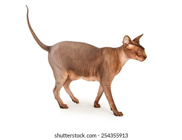 Side view of an adult hairless Sphynx breed cat walking