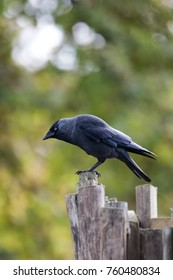 Side view of an adult jackdaw about to take off from a fence post.