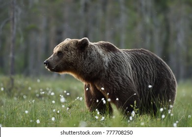 Side view of adult male brown bear